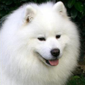 Samoyed Avatar Club